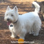 In home pet sitting as a dog boarding alternative for a West Highland white terrier (Westie)