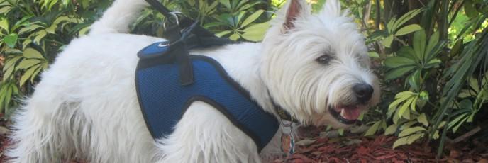 Lucky Westie gets in home boarding as dog kennel alternative
