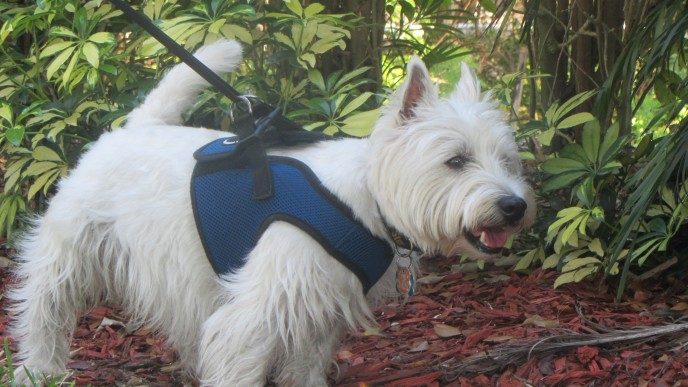 Lucky Westie gets in home boarding as dog kennel alternative