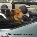 Dog sitting Amstel in his Mini Cooper