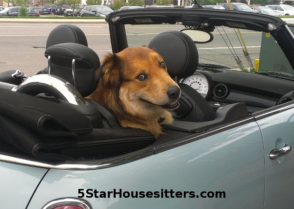 Long term house sitting and dog sitting Amstel, pictured in his Mini Cooper
