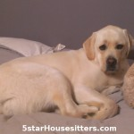 in home dog sitting as dog boarding alternative with English lab, Duke