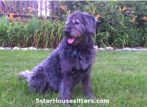 housesitting and dogs sitting for labradoodle