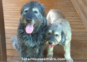 Housesitting and dogs sitting labradoodle and cockapoo mix in North Carolina