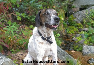 German shorthaired pointer mix on Aspen Vista trail on dog sitting in Santa Fe