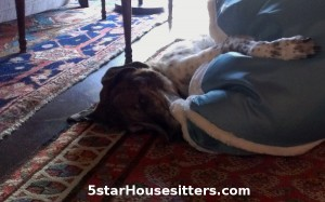 German shorthaired pointer mix wrestling with Mr. Pillow during dog sitting in Santa Fe