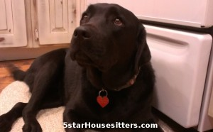 Ranch sitting and dog sitting labs in Durango