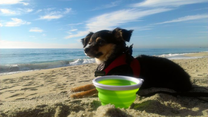 Cute dog video at the beach dogsitting fox terrier mix