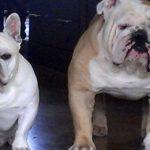 Santa Fe dog sitting with a French bulldog and English bulldog