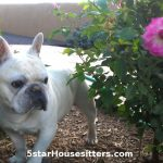 Dog_Sitting_French_Bulldog_Santa_Fe