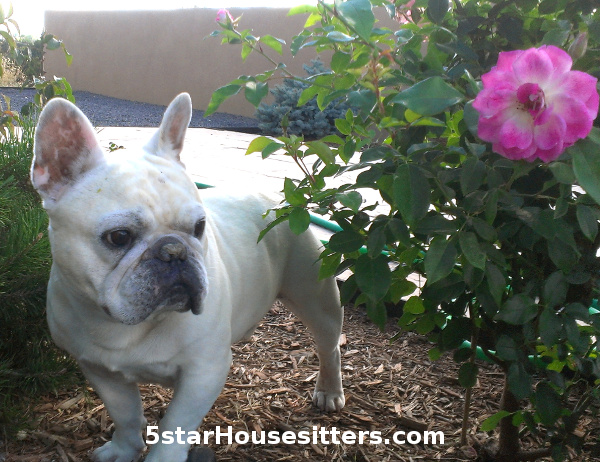 Santa Fe dog sitting with French bulldog