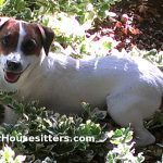 Dog_Sitting_Hedy_Parson_Russell_Terrier
