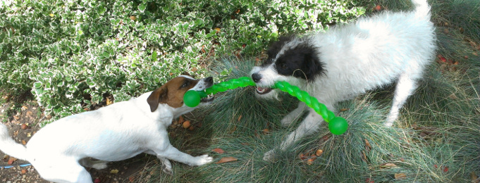 Santa Fe dog sit with Parson Russell terriers
