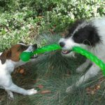 Dog Sitting Parson Russell Terriers in Santa Fe