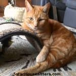 Lulu Cat Care for Orange Tabby in Monterey