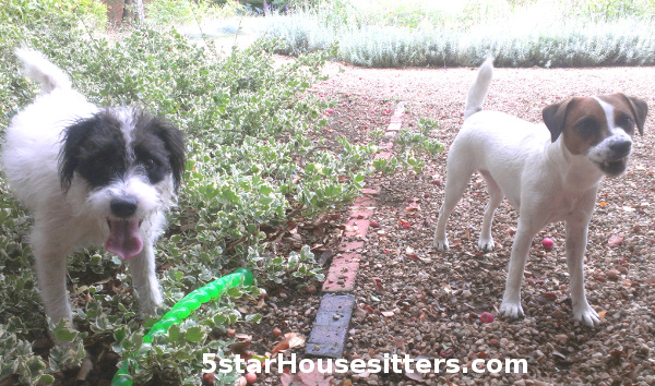Parson Russell terriers (Jack Russell Terriers)