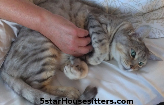 Bely rubs! Cat care for silver bengal