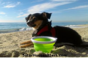 Cute dog video dogsitting fox terrier mix digging the beach