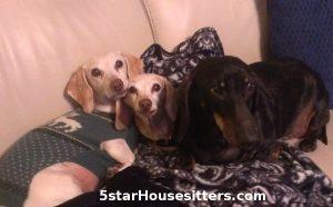 Dog_Sitting_Elderly_Dachshunds_California
