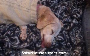 Senior Dachshund Puppy Mill Rescue